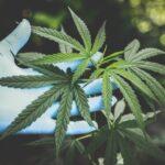 Cannabis (Marijuana) Facts and Statistics